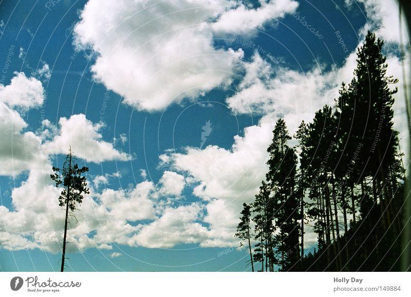 Außenseiter Baum Wolken Himmel weiß Watte einzeln Wäldchen Wald Silhouette dunkel Schatten Gegenlicht blau Tanne Zeder Kiefer Zypresse Nadelbaum hell schwarz
