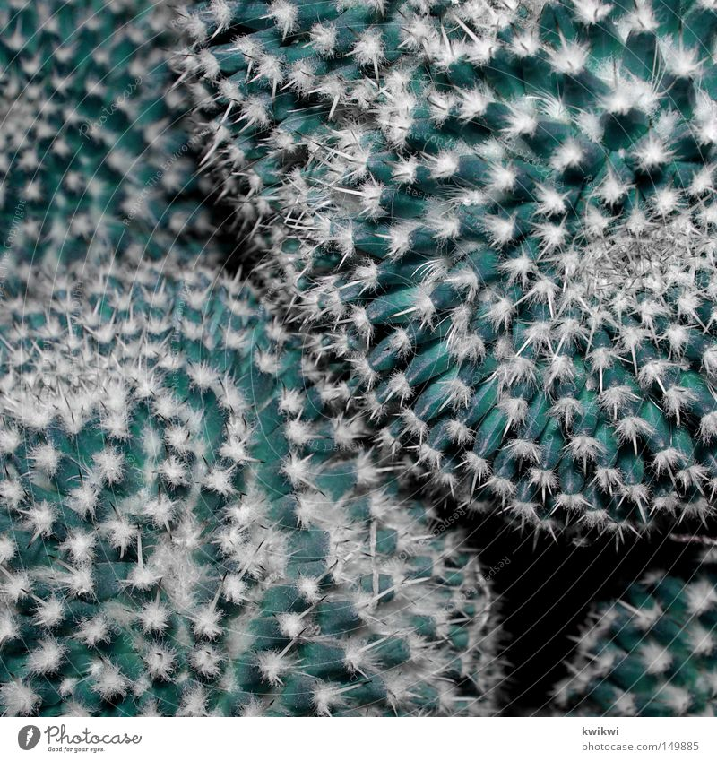 stachlig Natur Blume grün Pflanze Blüte Wüste Spitze Schmerz Blühend zyan Kaktus Stachel stachelig Blumentopf Fensterbrett Zimmerpflanze