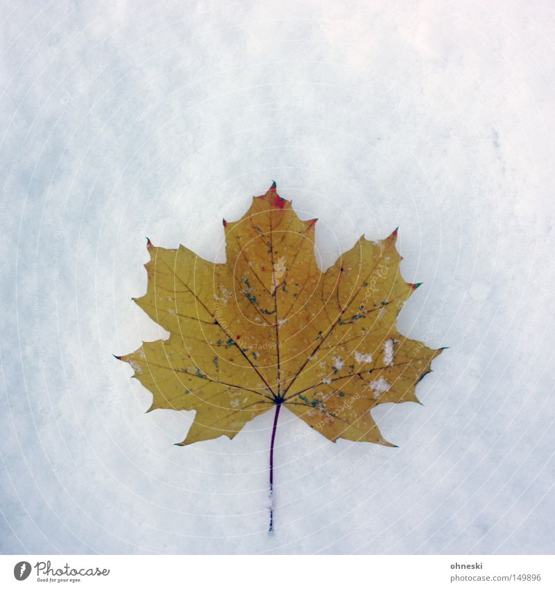 ..., Herbst und Winter Schnee Eis Frost Blatt kalt weiß Vergänglichkeit Ahorn November Schneeflocke Pulver Wintereinbruch Kanada Danke Carl Farbfoto