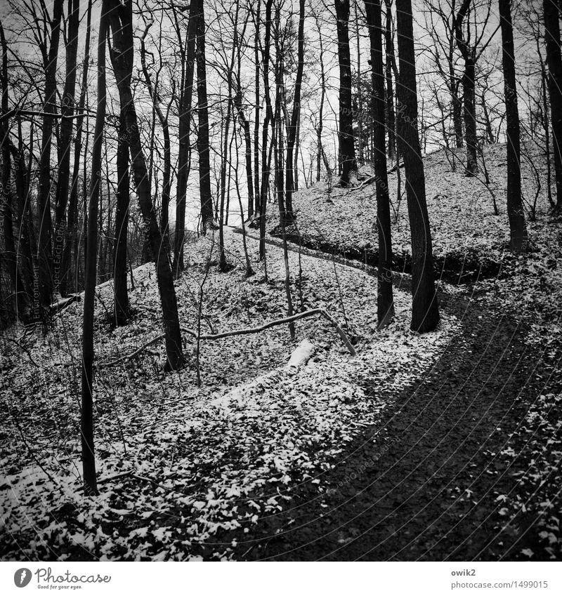 Winterwaldweg Umwelt Natur Landschaft Pflanze Klima Schönes Wetter Eis Frost Schnee Baum karg kahl Blatt Laubwald ruhig Wege & Pfade Fußweg hoch geduldig Idylle