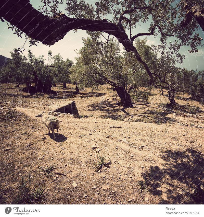 Wie macht das Schaf? Schafherde Schäfer Natur Schafswolle Wolle trocken Dürre Wärme Sommer Mallorca Spanien heiß Siesta ruhig Erholung Langeweile Balearen