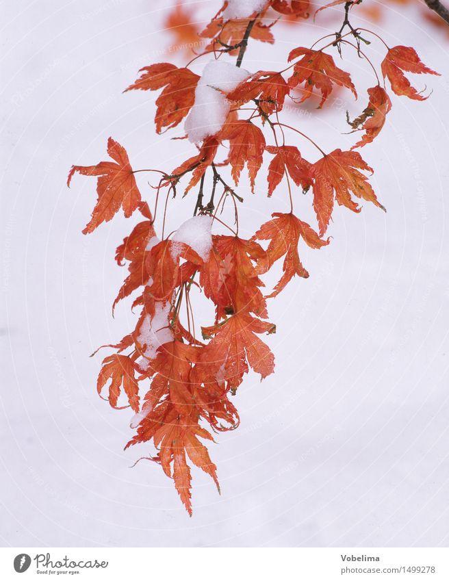 Ahornblätter im Winter Pflanze weiß Baum rot Blatt Winter Wald kalt gelb Schnee Garten braun Park Ast Zweig hängen