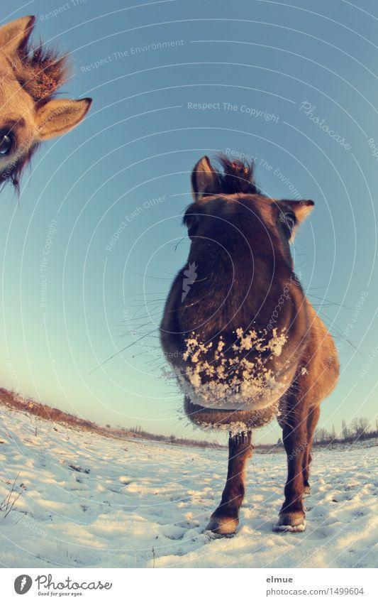 Happy horses (1) Himmel Sonne Winter Schönes Wetter Schnee Pferd Wildpferde 2 Tier Zuckerschnute Knutschbacke Küssen Blick stehen warten Fröhlichkeit gigantisch