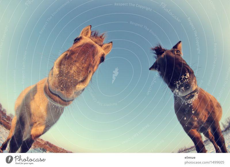 Oh! Himmel Sonnenlicht Winter Schnee Pferd Wildpferde Alptraum Küssen beobachten Kommunizieren stehen außergewöhnlich bedrohlich Freundlichkeit Zusammensein