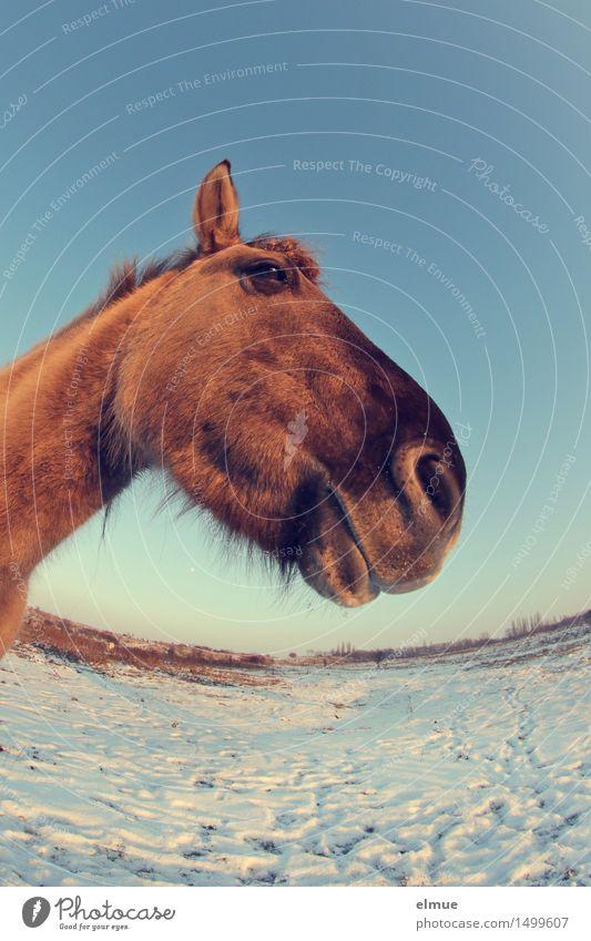 Pferdestärke (1) Himmel Sonne Winter Schnee Wildpferde Küssen beobachten Kommunizieren Coolness nah blau braun Glück Kraft Sympathie Tierliebe schön achtsam
