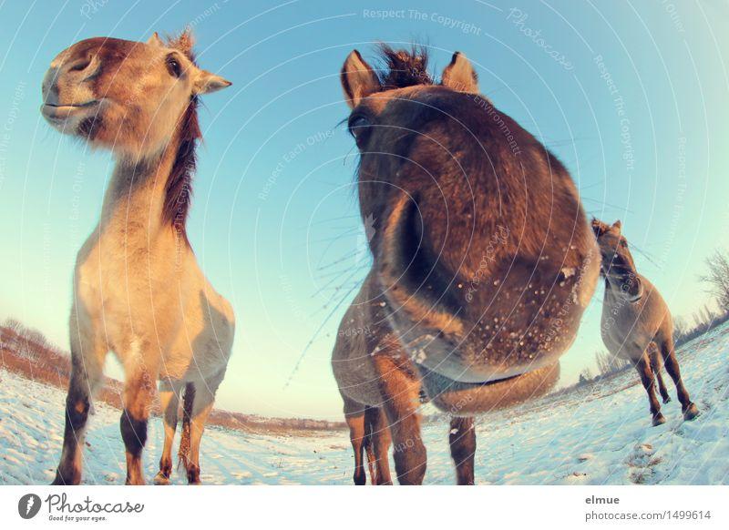 Happy horses (4) Himmel blau schön Freude Winter Schnee Glück braun Zusammensein Zufriedenheit stehen Fröhlichkeit Kommunizieren Lebensfreude beobachten