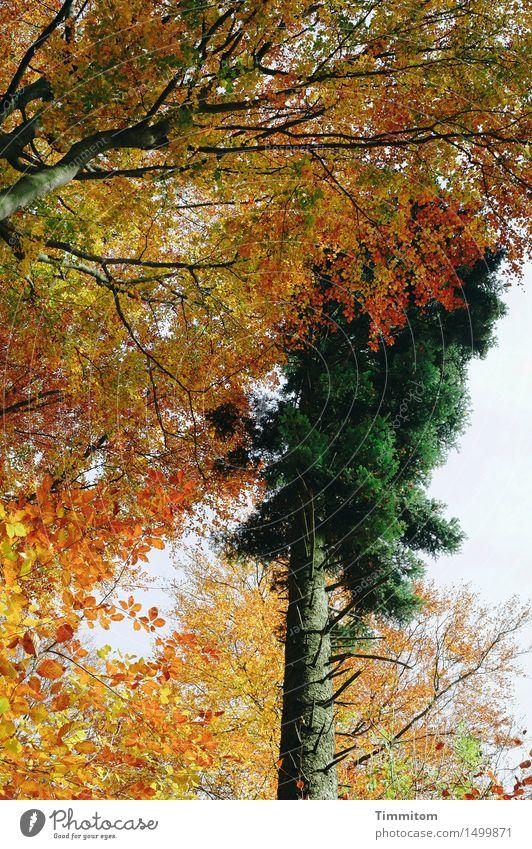 Zeitlupenkampf. Natur Pflanze grün Baum Wald gelb Herbst orange Ast kahl Herbstfärbung Nadelbaum Laubbaum