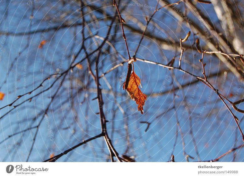 Einsam Blatt Baum Ast Zweig Holz Brennholz heizen Himmel blau rot braun schwer Schwäche Natur Herbst Winter Wolken Trieb Einsamkeit einzeln Hintergrundbild