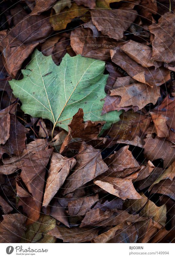 falling slowly Pflanze Blatt Herbst Ziel Wandel & Veränderung fallen Vergänglichkeit Jahreszeiten Abschied Botanik Gefäße Bildausschnitt Blattadern verzweigt