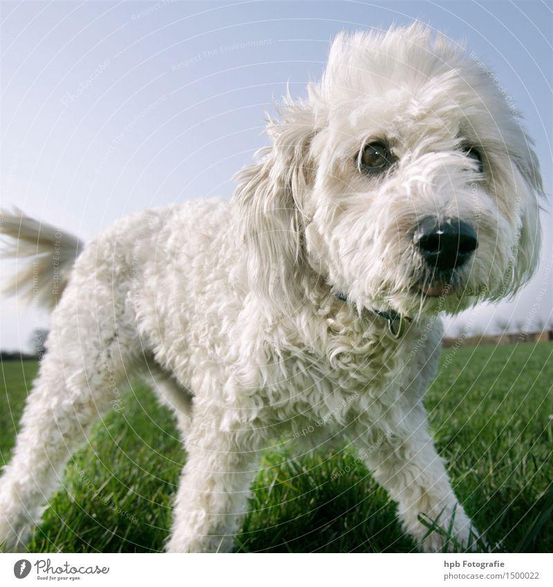 Hund 3 Tier Haustier Nutztier 1 Blick stehen träumen Traurigkeit Fröhlichkeit hässlich schön kuschlig listig Neugier niedlich weiß Freude ästhetisch