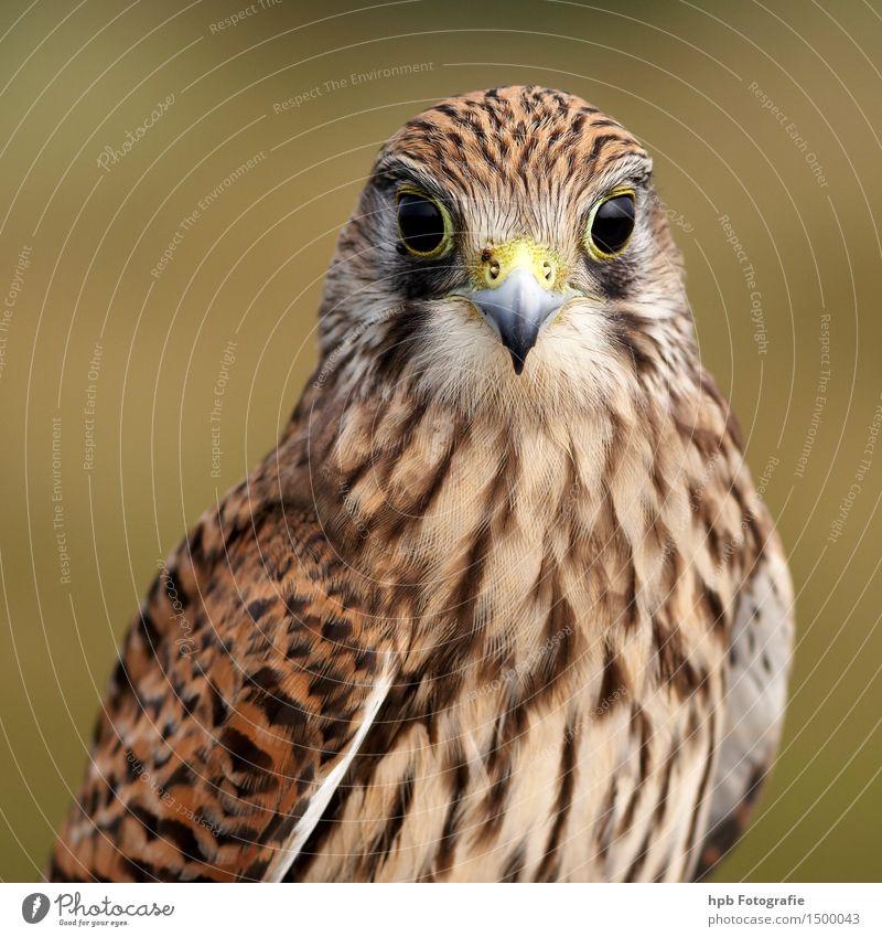 Turmfalke Natur schön Tier feminin Denken fliegen braun Stimmung Vogel wild elegant Wildtier ästhetisch sitzen Flügel Geschwindigkeit