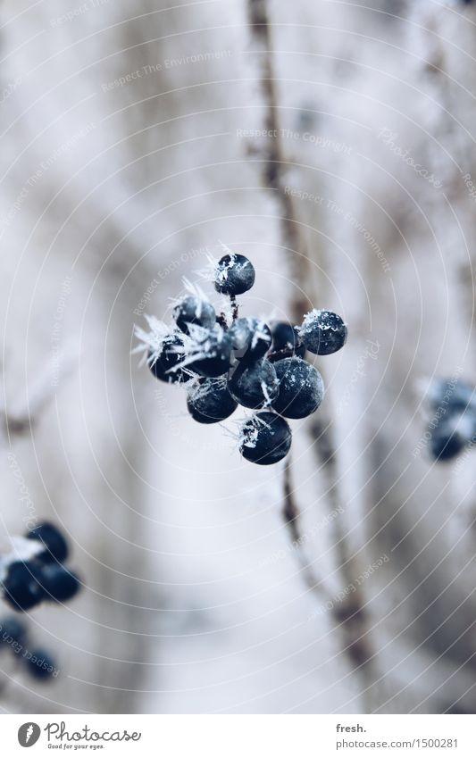 Snow Berry Ferien & Urlaub & Reisen Ausflug wandern Umwelt Natur Pflanze Winter Klima Wetter Schönes Wetter Eis Frost Schnee Schneefall Sträucher Wildpflanze