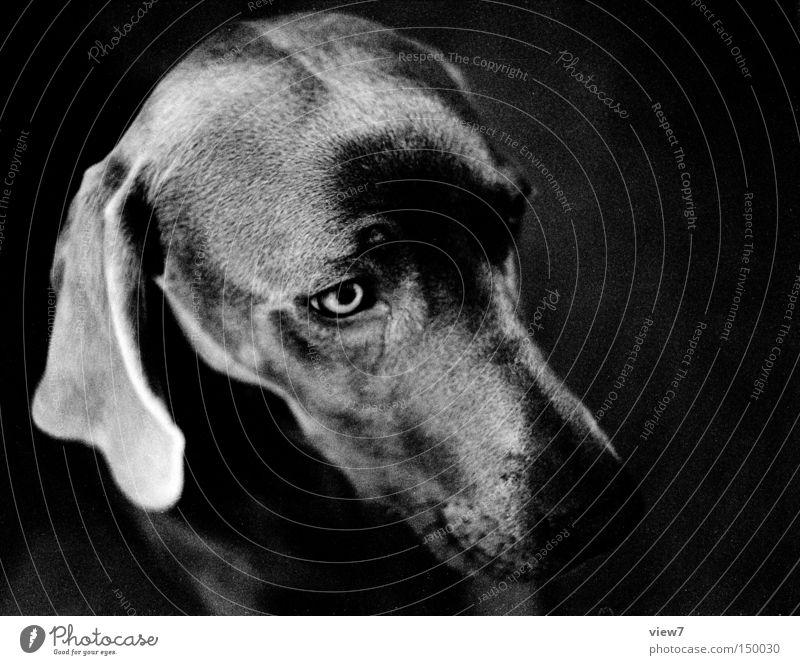 Diva Hund wach Tiergesicht Fell Schnauze Nase Kopf Weimaraner Welpe niedlich Ohr Hängeohr ruhig Säugetier Schwarzweißfoto schön Hundekopf Hundeauge