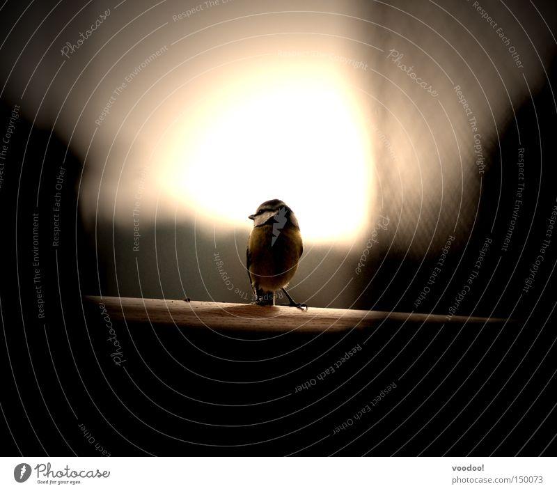 Es war die Nachtigall... Ick gloob Du hast ne Meise! Natur Sonne Vogel Beginn Licht unklar Neuanfang Meisen Romeo und Julia Ornithologie