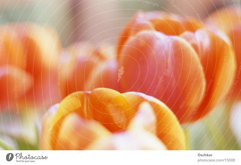 Tulpenfeld Blume Sommer Frühling orange Feld
