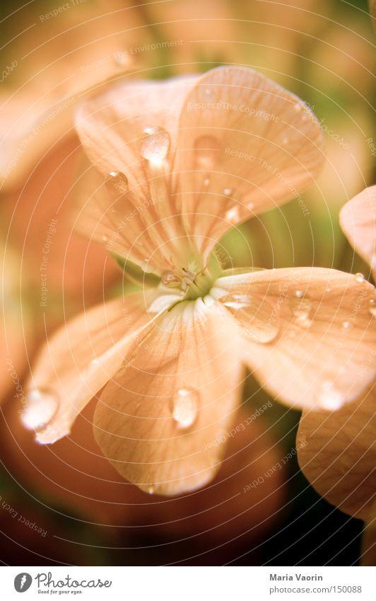 Ein bisschen Sommer Wasser Blume Blüte Regen Wassertropfen nass frisch Wachstum Tau gießen gedeihen