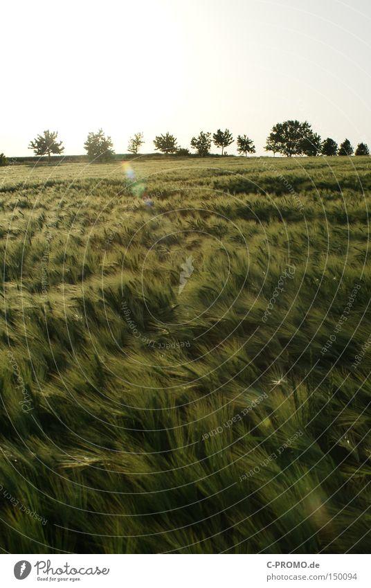 Erntereif Getreide Feld Landwirtschaft Baum Gegenlicht Ähren Wind Ferne Freiheit Natur Frühling