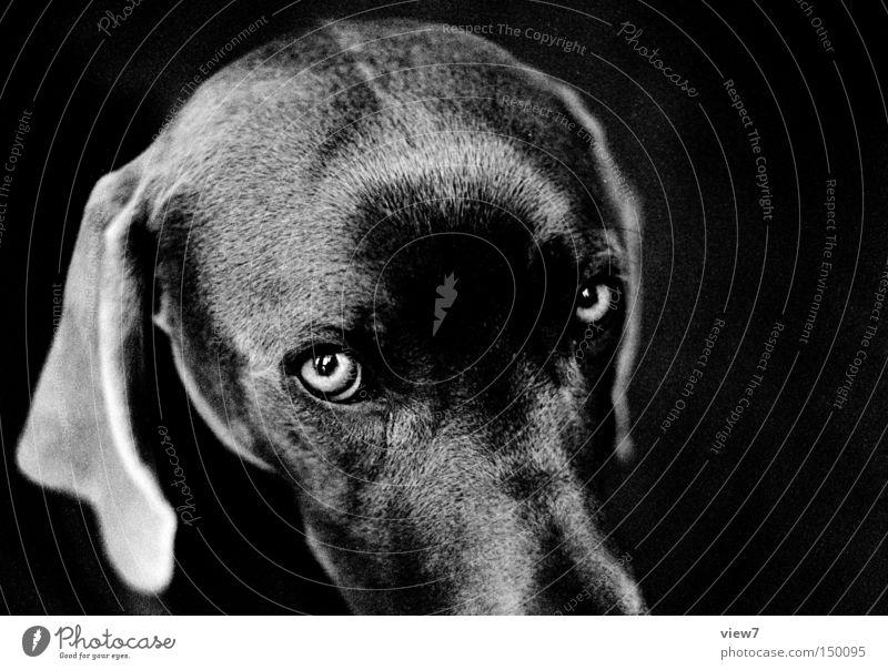 Augenblick Hund Blick Tiergesicht Fell Schnauze Kopf Weimaraner Welpe niedlich Ohr Schwarzweißfoto schön Säugetier Hängeohr Blick in die Kamera Hundeblick