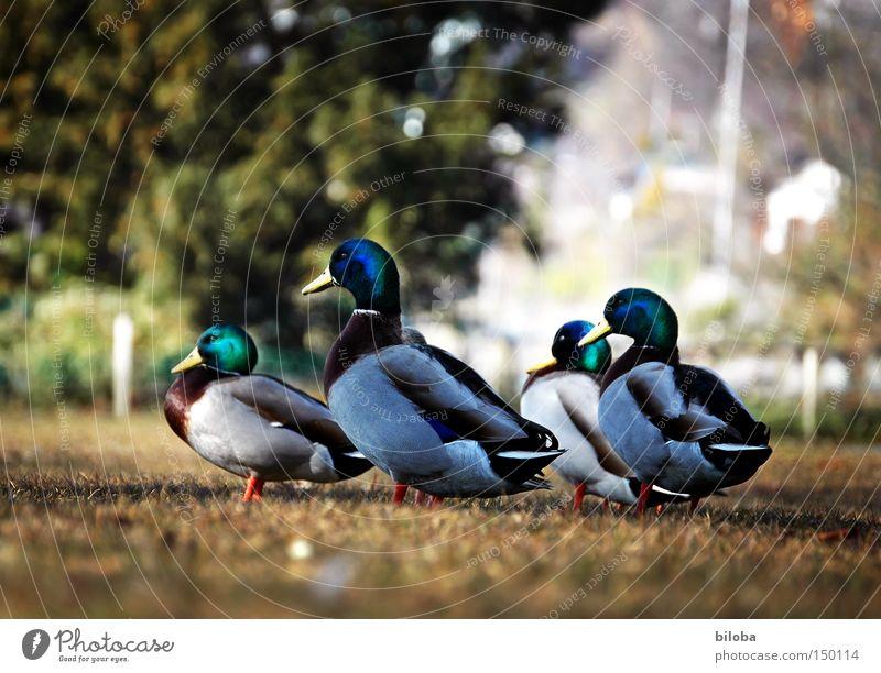 Multisession Tier Leben See Zusammensein Vogel Ausflug 4 Lebensfreude vorwärts Richtung Seeufer Ente Schnabel Federvieh marschieren watscheln
