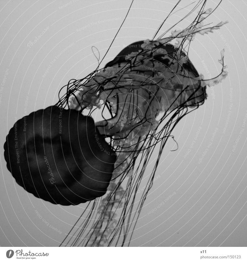 Jellyfish II Qualle Meer Lebewesen Nesseltiere schleimig Gift Strand brennen Meerwasser Aquarium Schwarzweißfoto Wasser glibberig Unterwassen tief Weichtier