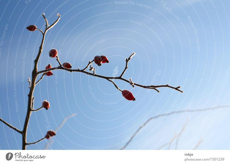 kalt Natur Pflanze Wolkenloser Himmel Winter Schönes Wetter Eis Frost Sträucher Hagebutten Ast Zweig hängen schön blau rot Klima gefroren Farbfoto Außenaufnahme