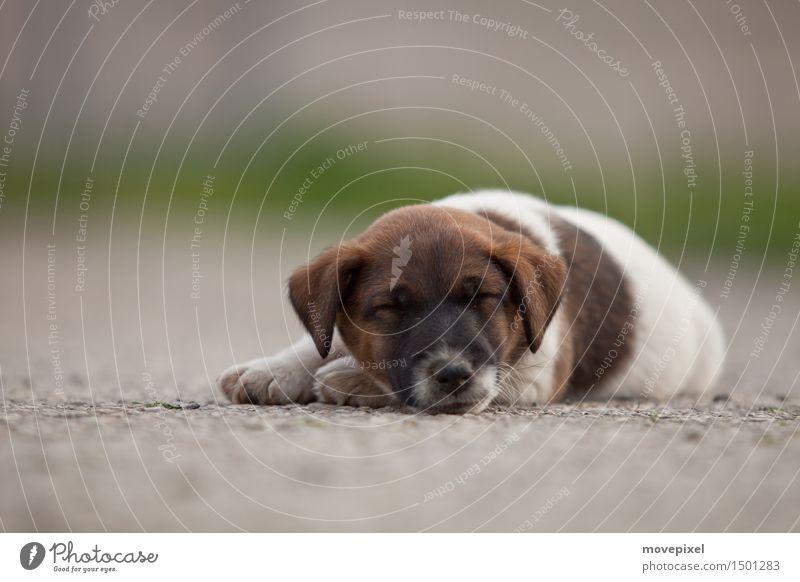 Hundemüde Frühling Sommer Straße Tier Haustier 1 Tierjunges schlafen niedlich Tierliebe ruhig träumen Wachstum Welpe Fox-Terrier Pfote Farbfoto Außenaufnahme