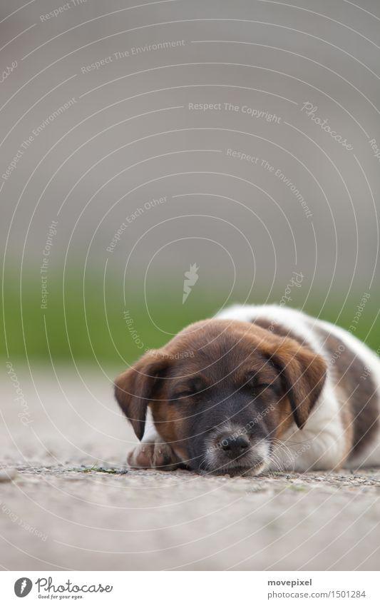 Wauzi Straße Haustier Hund 1 Tier Tierjunges schlafen träumen Fox-Terrier Welpe Farbfoto Außenaufnahme Textfreiraum oben Tag Schwache Tiefenschärfe Tierporträt