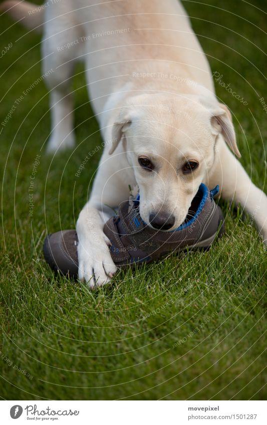Hund mit Schuhfetisch Sommer Tier Tierjunges Frühling Wiese Spielen Garten Schuhe Neugier lecker Spielzeug Haustier Fressen Pfote unschuldig