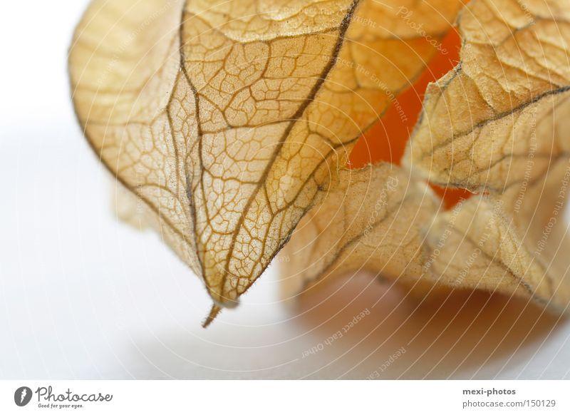 Physalis Frucht süß Nachtschattengewächse Südfrüchte Beeren Gesundheit lecker orange Makroaufnahme Vegetarische Ernährung säuerlich