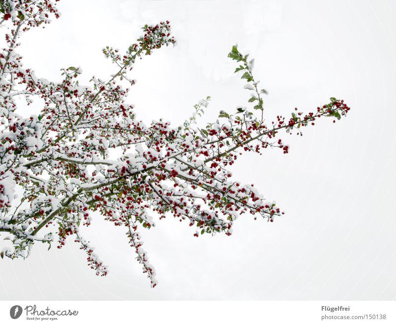 50 | Eisbären, äh... Schneebeeren Winter Frost Baum Holz hängen kalt viele grün rot weiß Ast filigran Beeren gefroren mehrere Spaziergang Jahreszeiten