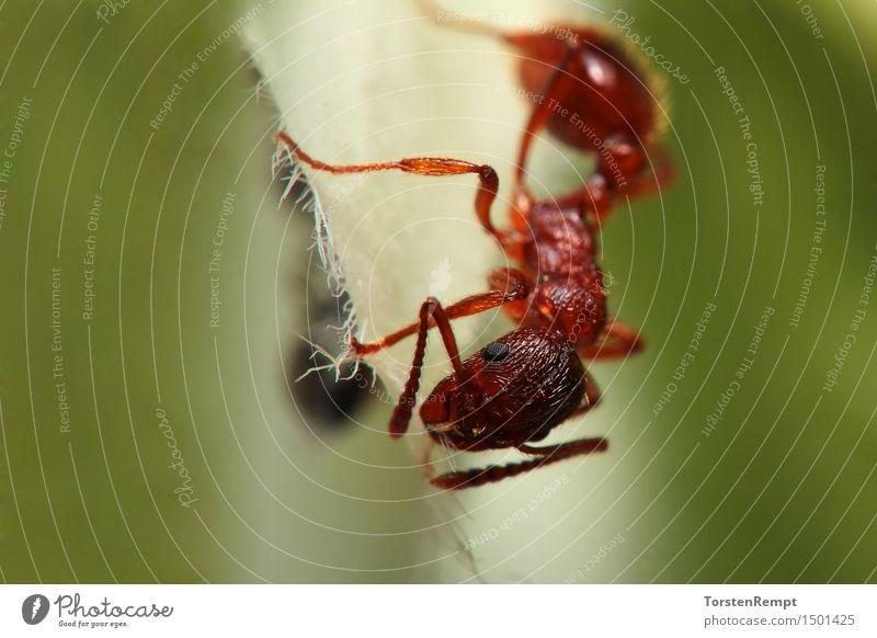 Ameise_Makro Tier 1 Essen braun grün Makroaufnahme Nahaufnahme Porträt Pflanze Insekt Hautflügler Taillenwespen Gliederfüßer Farbfoto Außenaufnahme Unschärfe