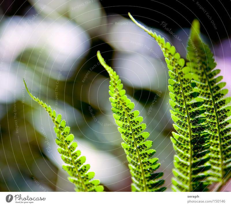 Farnwelten Licht Farnblatt Pflanze Natur Botanik Reifezeit Blattadern mehrfarbig Makroaufnahme Nahaufnahme Echte Farne Wachstum königsfarn Blattgrün filigree