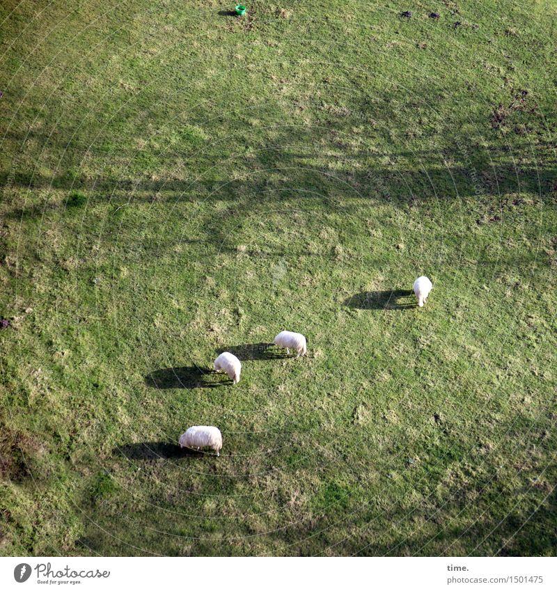 Rasenmäherinnen Eimer Wiese Tier Nutztier Fell Schaf 4 Tiergruppe Essen stehen ästhetisch authentisch Zufriedenheit Lebensfreude Leidenschaft Vertrauen