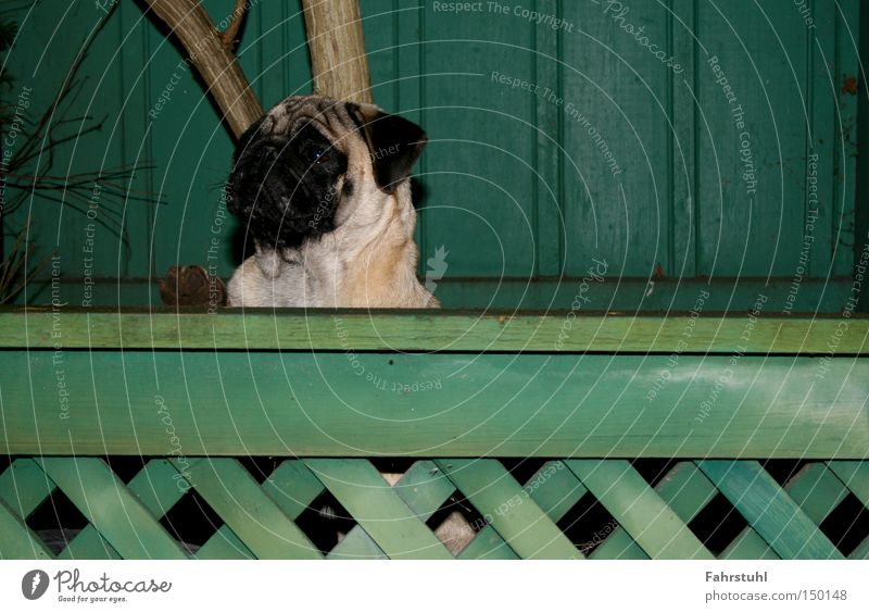 Wachhund Baum grün Haus Tier Wand Hund Barriere Zaun Mops Haushund