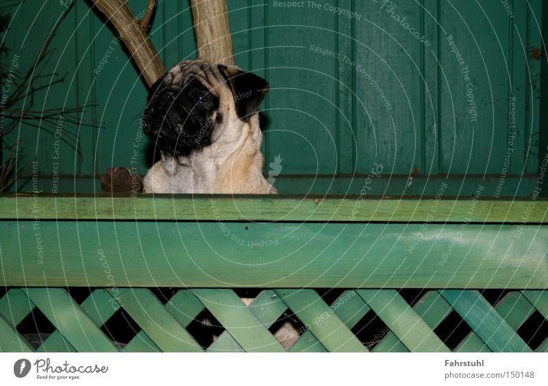 Wachhund Zaun Mops Hund grün Haus Wand Baum Tier Haushund