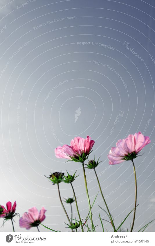 Cosmea Himmel Natur Sommer Blume Wiese Blüte rosa Schönes Wetter Blauer Himmel Blumenwiese Astern Schmuckkörbchen Krankheit Sommerblumen