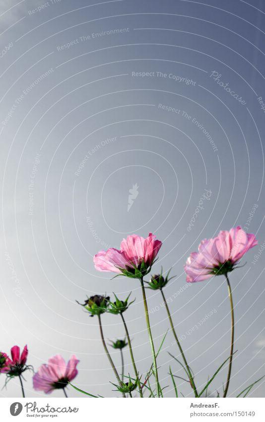 Cosmea Schmuckkörbchen Sommer Himmel Blume Blüte Sommerblumen rosa Schönes Wetter Natur Blumenwiese Wiese Blauer Himmel