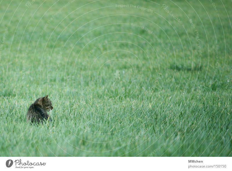 Schleicherin Katze Gras verborgen Versteck verstecken Beute Beutezug Haustier Wachsamkeit Maus Herbst Säugetier Fressfeind