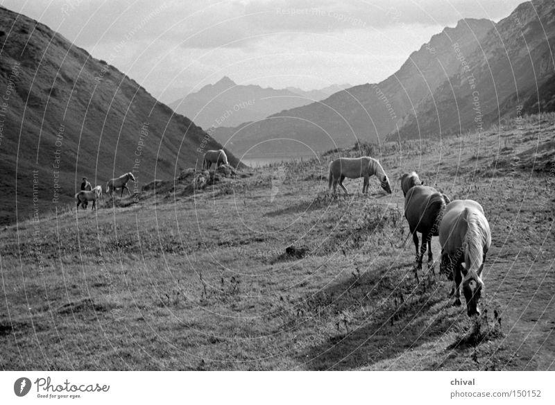 Haflinger am Wegesrand Berge u. Gebirge Alpen Pferd Wege & Pfade Bergsteigen Weide alpin Panorama (Aussicht) Tal Alm Herde Schwarzweißfoto Säugetier groß