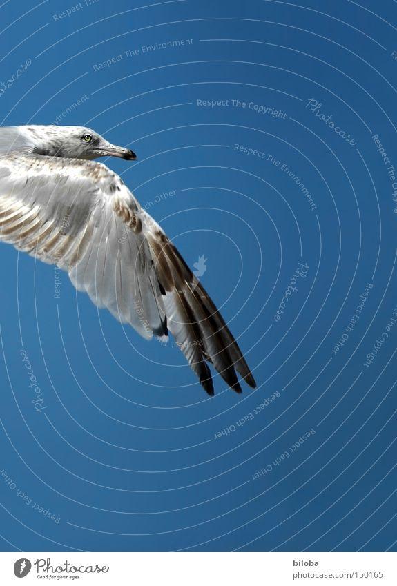 Flugwetter Möwe fliegen Vogel Freiheit frei Himmel blau Schnabel Auge Stolz Frieden Möwenvögel Tier Flügel Feder Freisteller Anschnitt Detailaufnahme