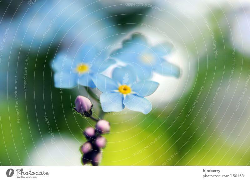 forget my not Vergißmeinnicht Blume Blüte Botanik Pflanze Floristik Einladung Freude Überraschung Frühling Hintergrundbild Park
