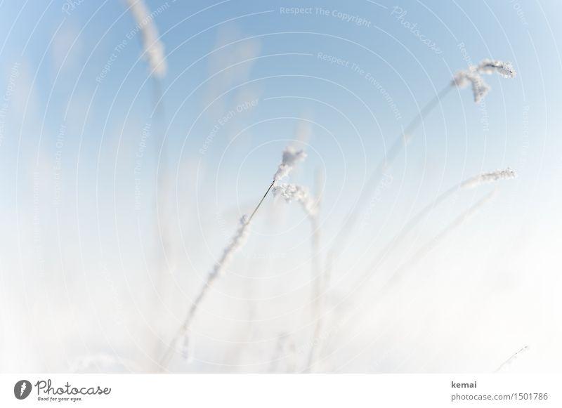 Ein Hauch von Winter Umwelt Natur Pflanze Wolkenloser Himmel Sonnenlicht Schönes Wetter Eis Frost Schnee Gras Gräserblüte frisch hell kalt blau weiß zart sanft