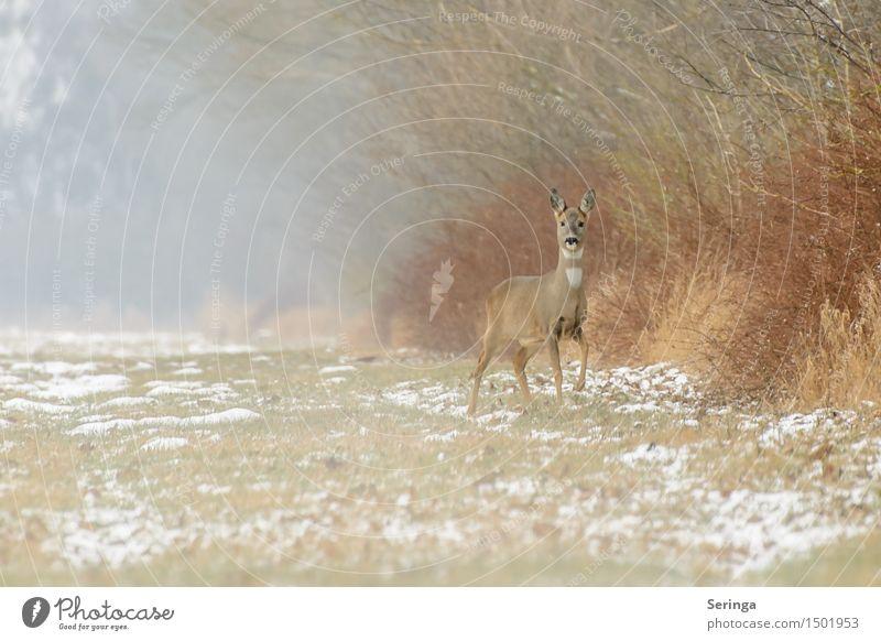 Reh auf der Lauer im Morgennebel Natur Pflanze Tier Winter Wiese Schnee springen Feld Nebel Eis Wildtier stehen Frost Fell hören Tiergesicht
