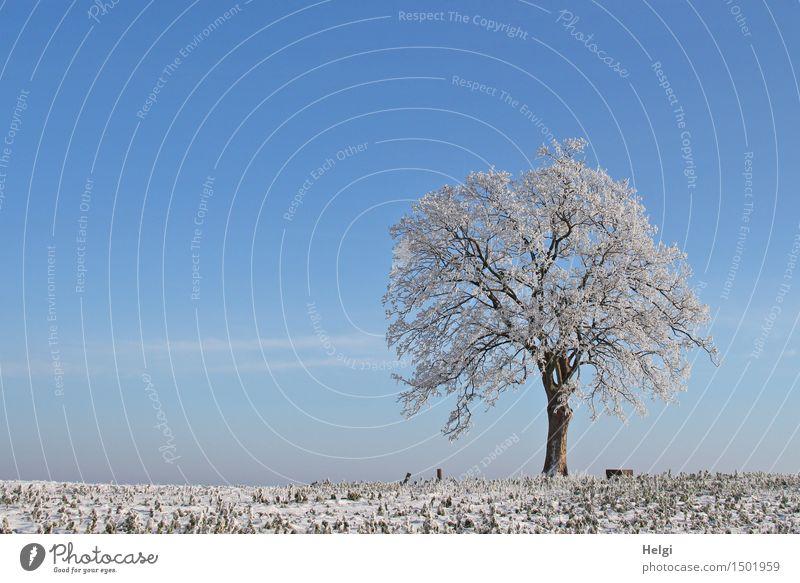 Winter Umwelt Natur Landschaft Pflanze Himmel Schönes Wetter Eis Frost Baum Feld frieren stehen ästhetisch außergewöhnlich schön einzigartig kalt natürlich blau