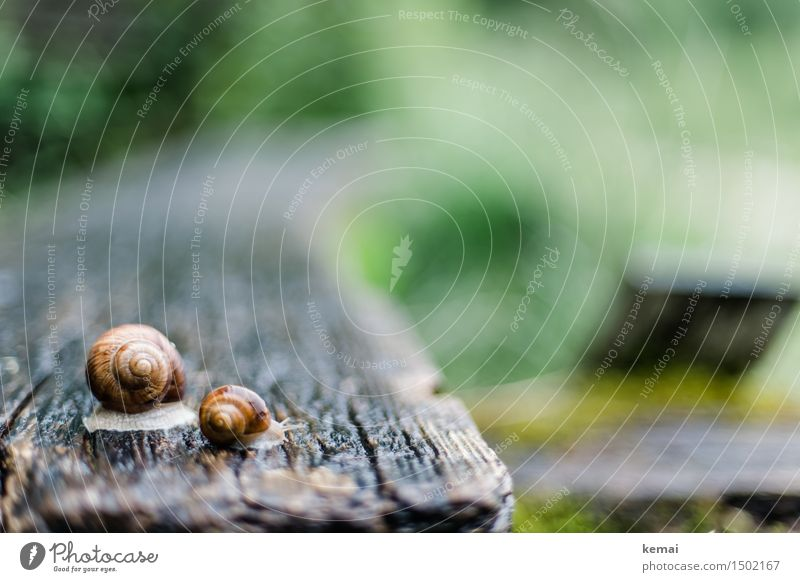 Schneckensommer grün Tier Tierjunges klein glänzend sitzen Tisch groß nass Oberfläche krabbeln Holztisch Schneckenhaus Holzstruktur Weinbergschnecken