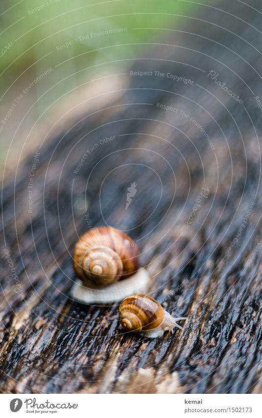 Groß und klein Umwelt Natur Tier Sommer Regen Wildtier Schnecke Weinbergschnecken 2 Holz sitzen authentisch glänzend nass rund schön Sympathie Freundschaft