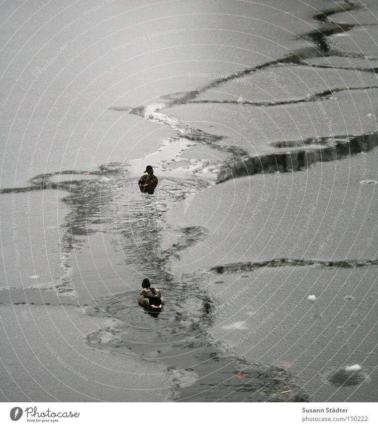 Eisbrecher Wasser Winter kalt See Park Eis gefroren tief Ente Glätte Eisscholle Mittweida Landkreis Mittweida