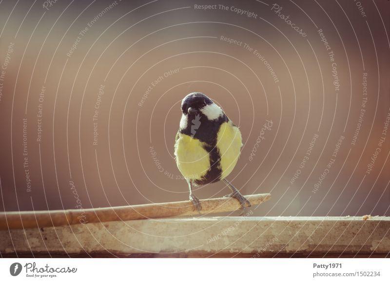 Kohlmeise Natur Tier schwarz gelb natürlich Vogel Zufriedenheit Wildtier sitzen Kohlmeise