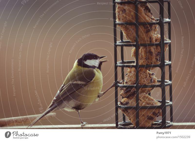 Kohlmeise Natur schwarz gelb Vogel Zufriedenheit Wildtier füttern Überleben Vogelfutter