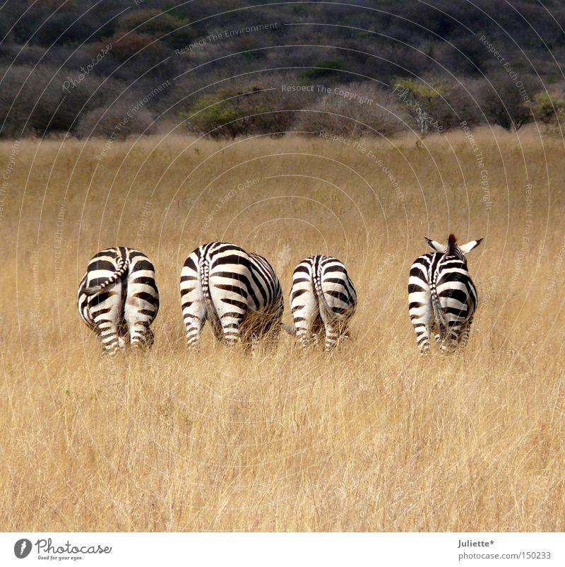 Leck mich am A... Zebra Fressen Afrika Steppe Ödland 4 schwarz weiß Einsamkeit Hinterteil Sommer Idylle ruhig gestreift Schwanz Ohr Wachsamkeit Gras Baum
